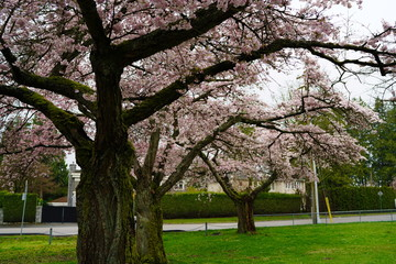 Beautiful cherry blossoms and fresh green lawn in UBC, Vancouver, BC, Canada
