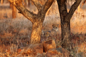 The cheetah (Acinonyx jubatus) lyingin the grass at sunset. Cheetan in the grass.