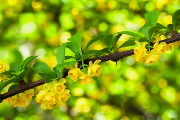Branch of blooming spring tree, yellow flowers close-up. Natural bright background with bokeh