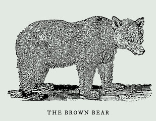 the brown bear (ursus arctos) in profile view (after an antique woodcut, engraving, illustration from the 18th century). Easy editable in layers