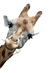 Giraffe portrait, Giraffe schaut neugierig um die Ecke, Isoliert auf weißem Hintergrund