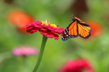 A Monarch Butterfly flies about the brightly colored flowers in my garden.