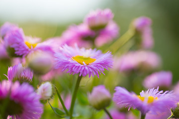 The purple Alpine Aster (Aster alpinus) close up at the sunset. Background