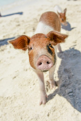 Closeup of a cute swimming pig on the beach