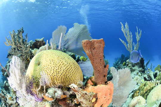 Coral reef with blue background and yellow brain coral in the left