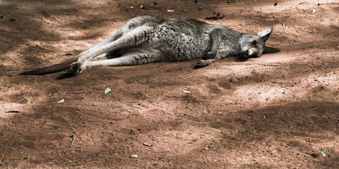 Kangaroo taking a nap, NSW, Austrlia
