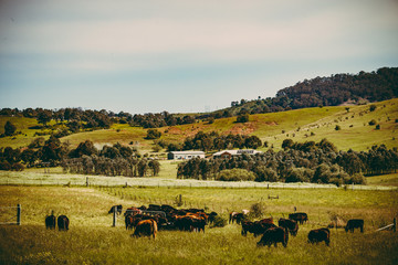 Coffee tone landscape of cattle farming, NSW, Australia