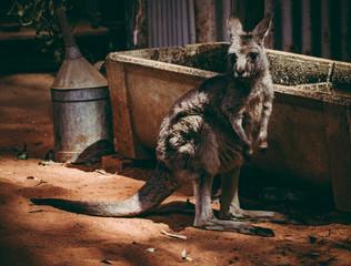 Kangaroo at a Zoo in NSW, Autralia