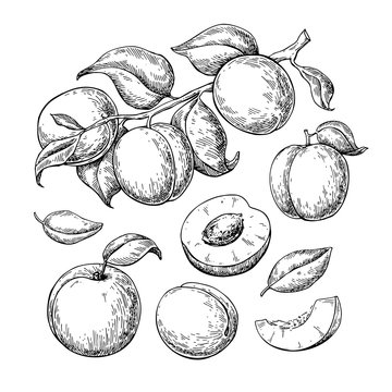 Apricot vector drawing set. Hand drawn fruit, branch and sliced