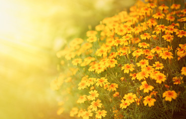 Blurred Autumn background with growing Tagetes flowers