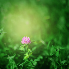 Nature Summer Background with clover Flowers