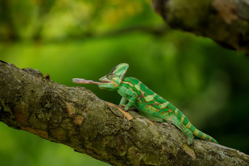 Chameleon on tree hunting home cricket