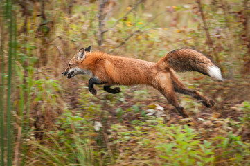 Wall Mural - Red Fox (Vulpes vulpes) Bounds Through Weeds