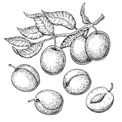 Plum vector drawing set. Hand drawn fruit, branch and sliced pie
