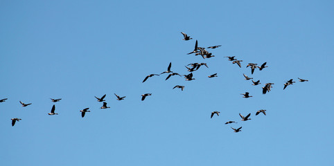Flock of flying wild Greater white-fronted geese (Anser albifrons) against cloudy sky