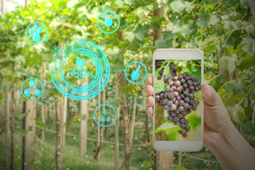 hand holding mobile phone inspecting grapes in agriculture garden with concept modern technologies Wall mural