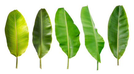 collection of banana leaf isolated on white background. Tropical plant