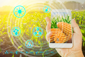 Hand using mobile phone inspecting young green corn field in agriculture garden and light shines sunset with concept modern technologies.