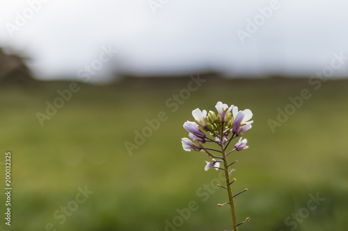 White tiny flowers in bloom isolated on a green field background white tiny flowers in bloom isolated on a green field background mightylinksfo