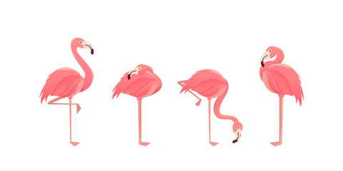 Set of flamingos isolated on white background. illustration.