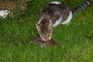 Young cat eats a rat.