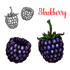 Blackberry fruit sketch of sweet bramble berry