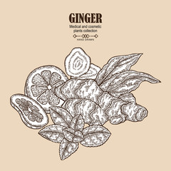 Ginger plant set. Hand drawn composition with ginger root, flowers, mint leaves and lemon tea. Vector illustration in sketch style.