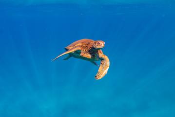 Turtle Floating in the Ocean