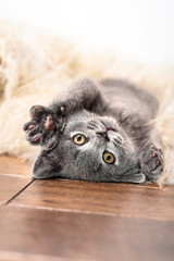 Cute little gray kitten sleeps on fur white blanket