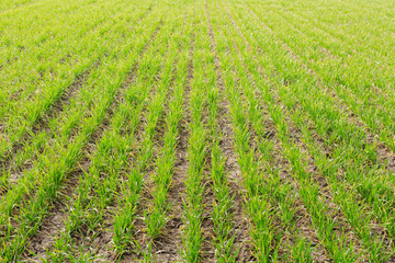 green sprouts of young winter wheat on agricultural land, picture with details
