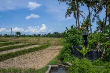 View on rice fields in Canggu, Bali
