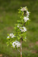 Pear blossom in spring.White blooms.
