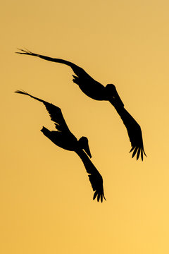 Two Pelicans  flying at sunset