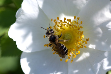 Bee on a white flower. spring (summer) rose flower and bee.