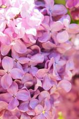 Fond de hotte en verre imprimé Hortensia Purple lilac flowers close up