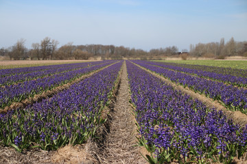 Fields full with purple hyacinths  in the Bollenstreek, an area in the Netherlands with lot of fields with colored bulb flowers