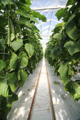 path with rails for transport cars in cumcumber greenhouse in Nieuwerkerk aan den IJssel