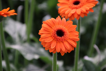 Gerbera type Candela in a greenhouse in nieuwerkerk aan den ijssel in the Netherlands