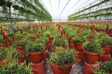 Rhipsalis plants (succulents) in a greenhouse nursery in Nieuwerkerk aan den iJssel in the Netherlands