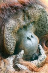 Orangotango fazendo uma reflexão