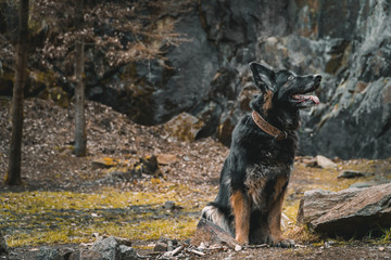 German shepherd sitting and looking up a rock