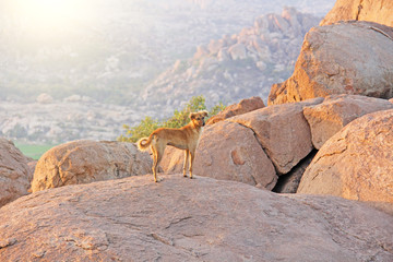 A red-haired dog stands on top of a mountain in India, Hampi