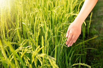 hand tenderly touching a young rice in the paddy field