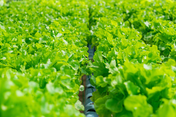 green organic lettuce in front of sunlight background