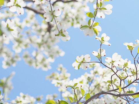 青空に咲くハナミズキ