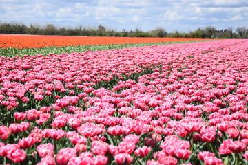 Papiers peints Rose banbon Tulipes, Jonquières