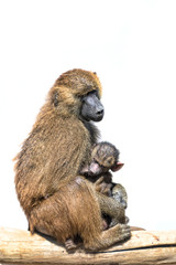 Female baboon holding her sleeping baby child isolated on white background