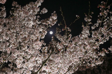 Light up of Cherry Blossom in Narashino City, Chiba Prefecture, Japan