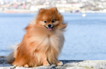 Pomeranian Spitz sits on the background of the sea, the dog smiles, the wool flutters in the wind