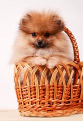 Fluffy puppy in a basket, Pomeranian